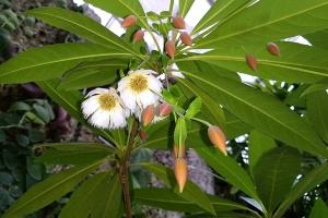 Elaeocarpus grandiflora, Lily of the Valley Tree