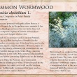 Common Wormwood image and informational text