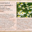 Chamomile image and informational text