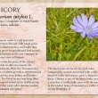 Chicory image and informational text