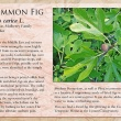 Common Fig image and informational text