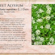 Sweet Alyssum image and informational text