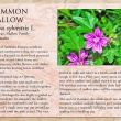 Common Mallow image and informational text