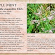 Apple Mint image and informational text