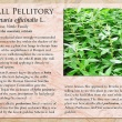 Wall Pellitory image and informational text