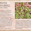 Purslane image and informational text