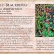 Wild Blackberry image and informational text