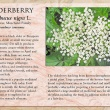 Elderberry image and informational text