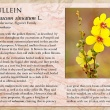 Mullein image and informational text