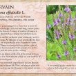 Vervain image and informational text