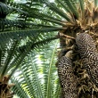 cones on cycad plant