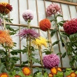 Display of large flowered mums