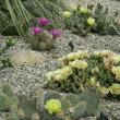 Hardy Cacti