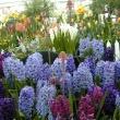 Bulb Show 2003 - Hyacinths