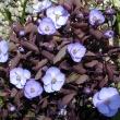 Jeffersonia dubia, Asian twinleaf