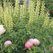 Baptisia and Peonies