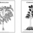 Reconstruction images of Mudullosa and Cordiates