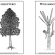 Reconstruction images of  Glossopteris and Williamsonia