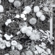 Chrysanthemum Show, 1957