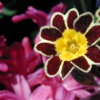 Primula Gold Lace