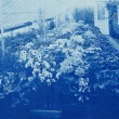 flowers in a greenhouse in 1904 in an old blue cyanotype