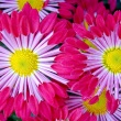 Mums with spoon-shaped petals