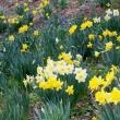 yellow daffodils and blue scilla