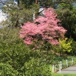 Pink dogwood in full bloom
