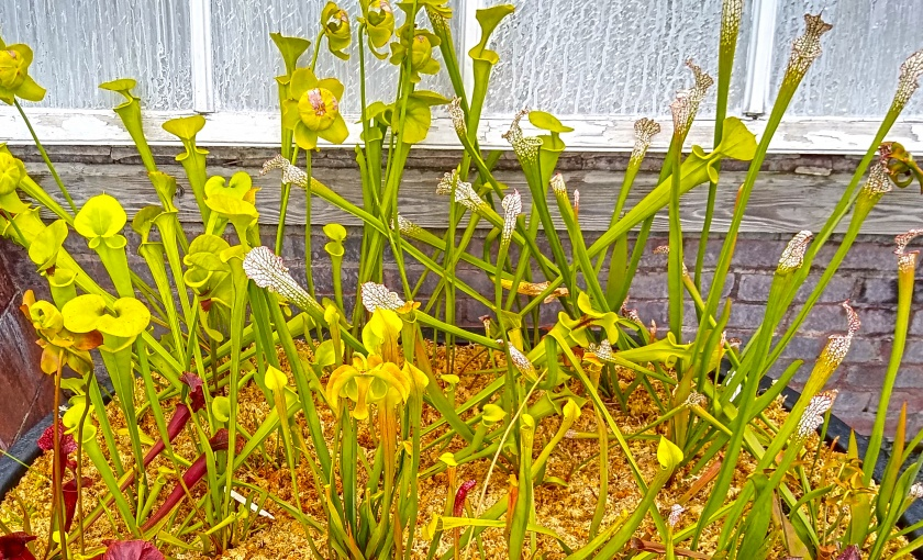 Carnivorous plants in the bog garden in bloom.