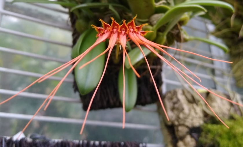 Bulbophyllum pecten-veneris image showing small orange spiked flowers held on a single stalk