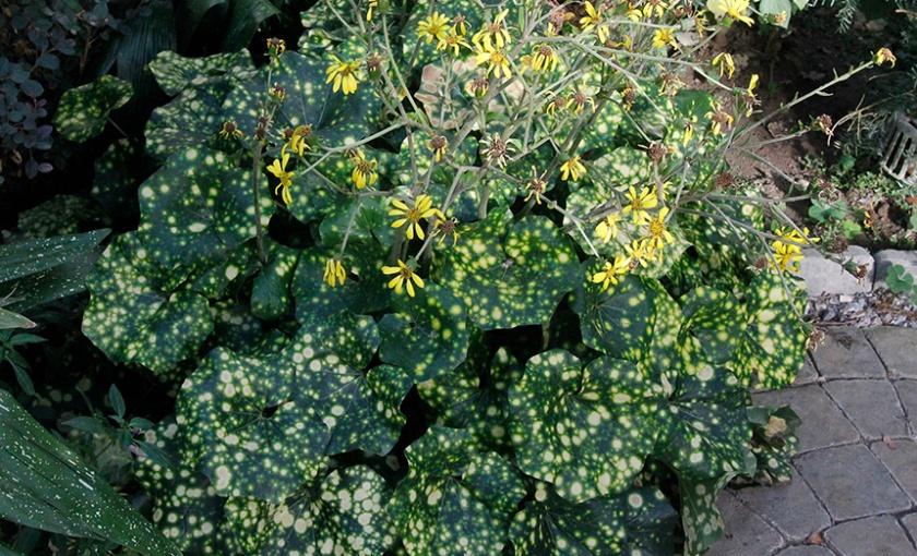 Leopard plant in bloom