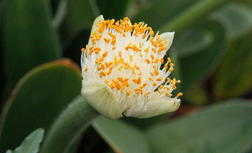 Haemanthus albiflos, paintbrush plant in bloom.