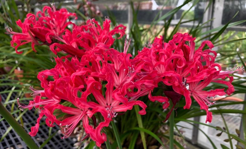 Nerine sarniensis, Guernsey Lily