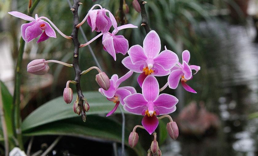 Phalaenopsis x equestris var. rosea