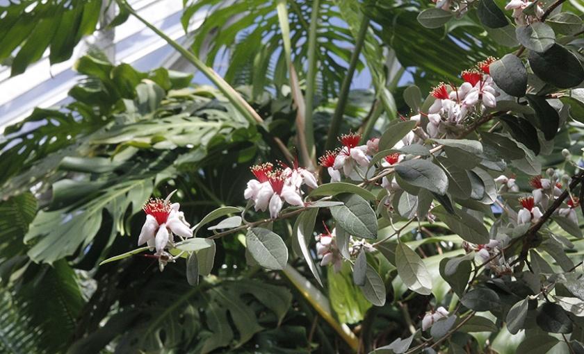 Feijoa sellowiana, Pineapple Guava tree in bloom