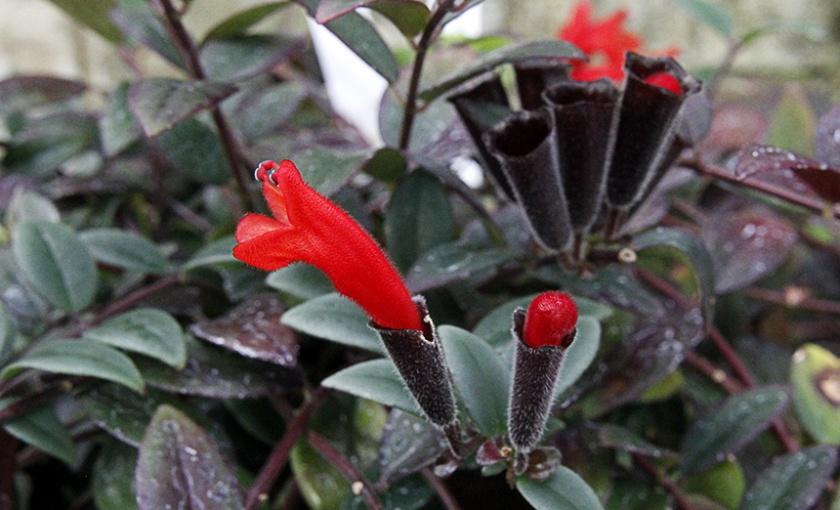 Lipstick Plant, Aeschynanthus radicans