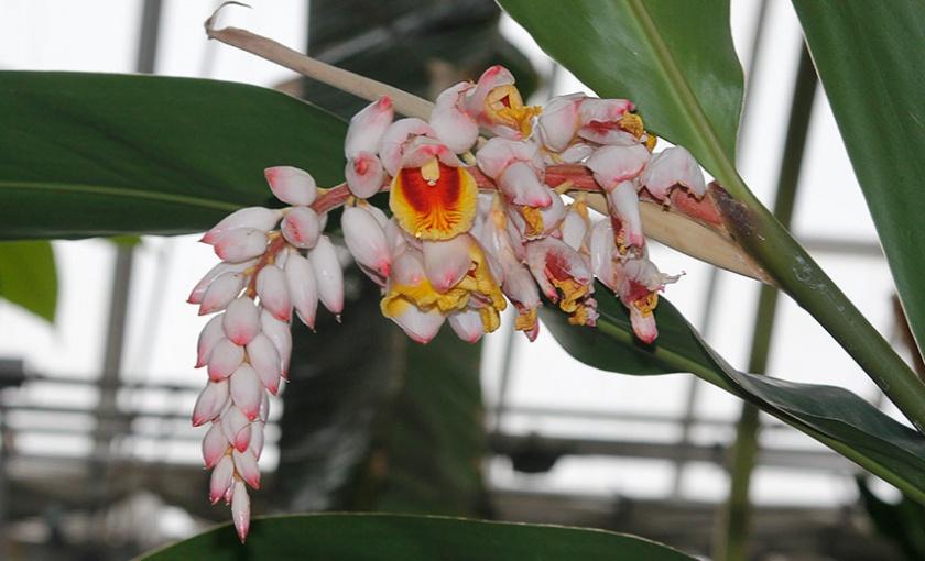 Alpinia zerumbet, common name: shell ginger