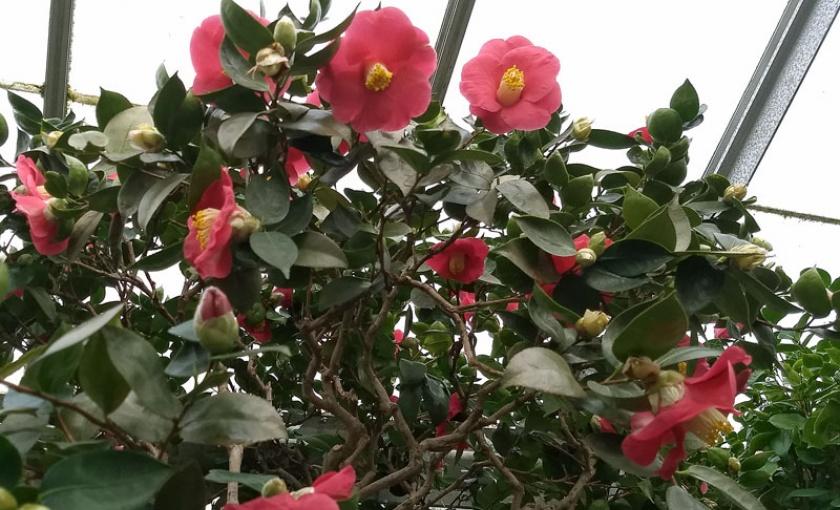 Camellias in the Camellia Corridor