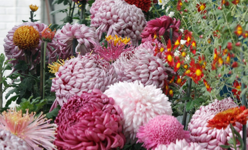 Chrysanthemum standards and cascades.