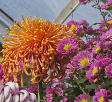 orange and purple chrysanthemums