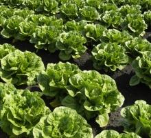 lettuce growing in rows in a field
