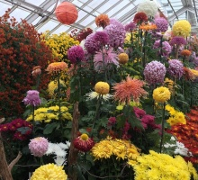 View of Fall Mum Show with large standard flowers 6 to 8 inches across