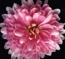 Hybrid chrysanthemum created by Beverly Therrien Partridge, 1982