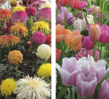 Smith College Bulb Show 2020.Dates Of Future Bulb And Chrysanthemum Shows The Botanic
