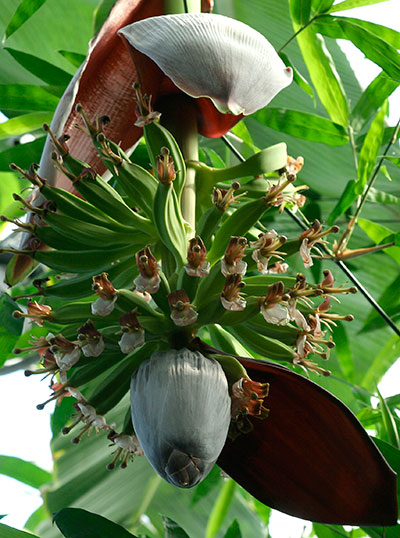 Banana flowers and fruit