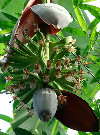 Banana flowers and fruit
