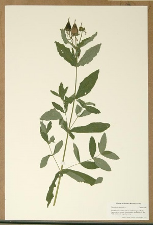 giant St. Johns wort herbarium specimen