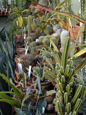Spiny Cacti in the greenhouse
