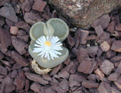 A flowering living stone with white petals