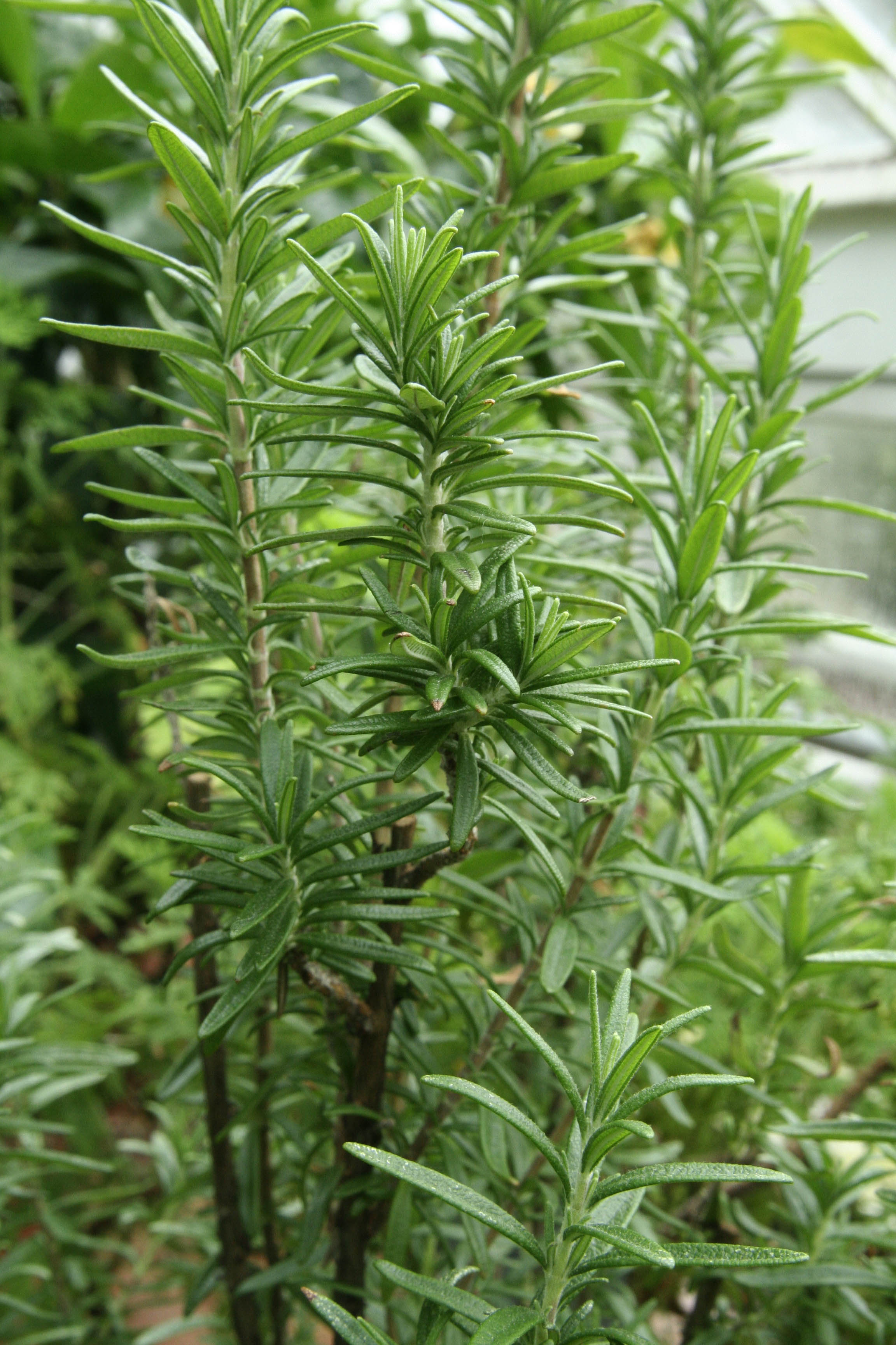 Rosemary plant with woody stems and needle-like leaves